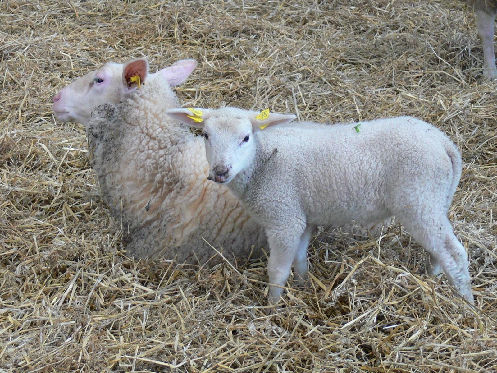 Lammetjes op de boerderij hoorngids de nieuwsbron voor for Schapenboerderij te koop